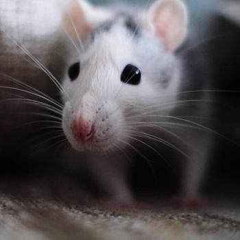 rodents-control-johor-bahru