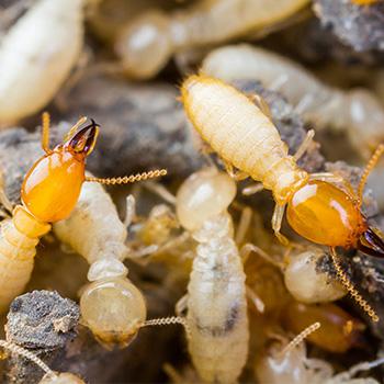termite-control-johor-bahru